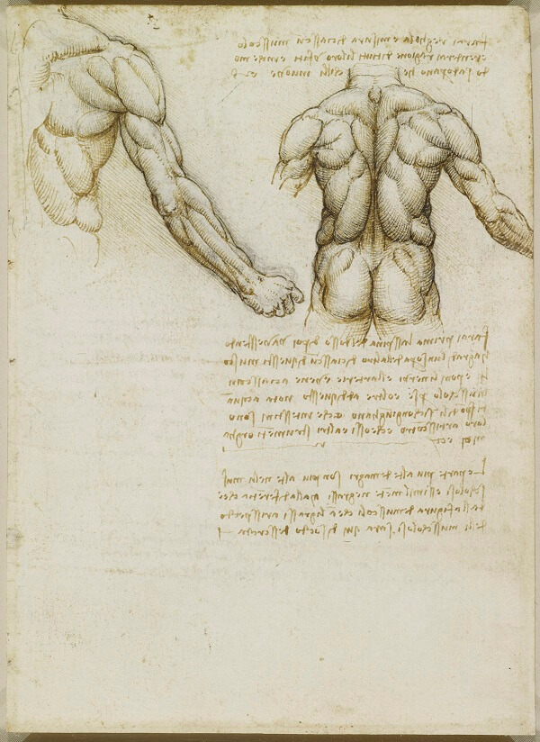 Muscles of the Back - by Leonardo da Vinci