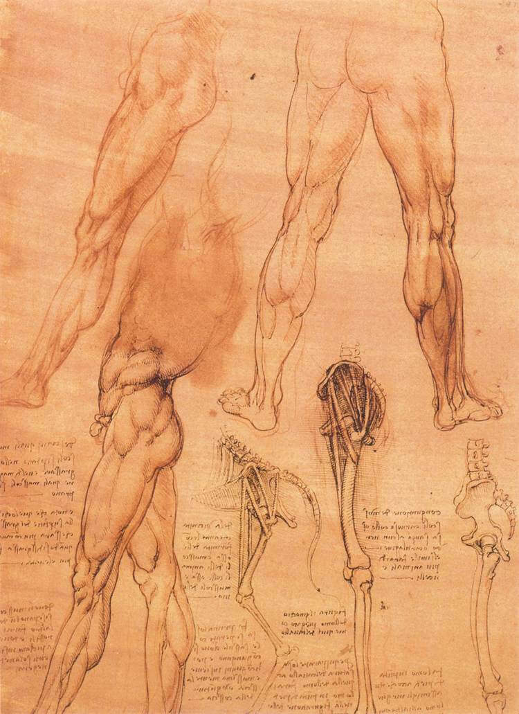 Studies of legs of man and the leg of a horse - by Leonardo da Vinci